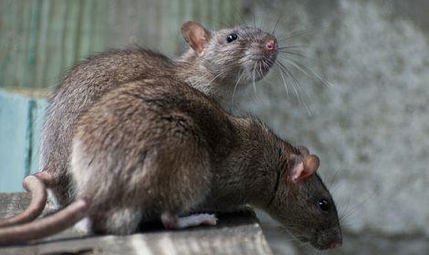 twee ratten